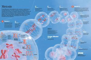 Infographic Describing the Process of Meiosis of the Cell by Which Haploid Sex Cells Generate