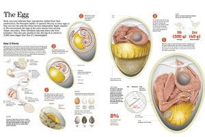 Infographic of Egg Formation in the Birds, their Composition, Size and Form