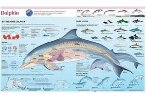 Infographic of the Anatomy, Habitat and Bottlenose Dolphin Breeding