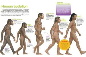 Infographic of the Evolution of the Hominids, from the Australopithecus to the Homo Sapiens