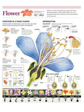 Infographic of the Flower Parts and their Classification. Pollination and Seed Formation