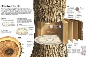 Infographic of the Parts of a Tree Trunk and How it Grows