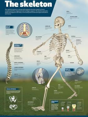 Infographic on the Human Skeleton. Detail of the Main Bones and Difference Between Men and Women