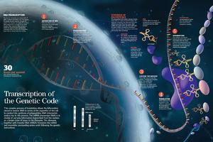 Infographic Showing the Transcription Process of the Cell Nucleus Dna to the Organelles