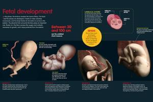 Infographic That Describes the Fetal Development from Three to Eight Months Old