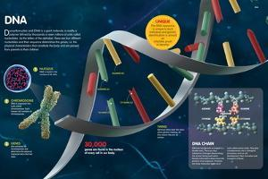Infographic Where the Structure of Dna and its Composition are Described