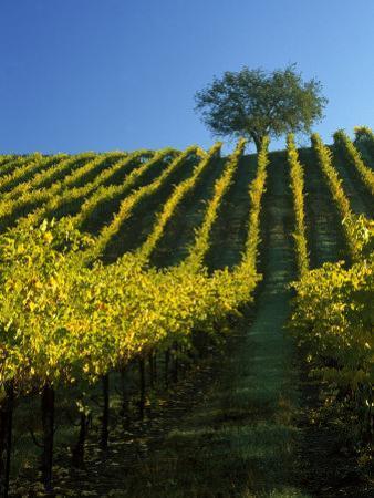 Fall Foliage in Vineyard, Sonoma, CA by Inga Spence