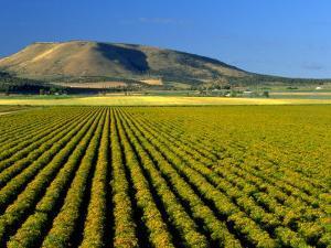Field of St. John's Wort, Oregon by Inga Spence