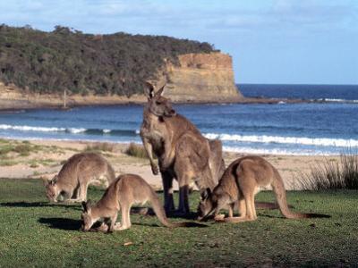 Group of Kangaroos Grazing, Australia by Inga Spence