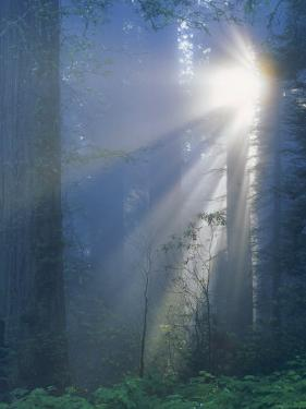 Sunlight Coming Through Redwoods, CA by Inga Spence