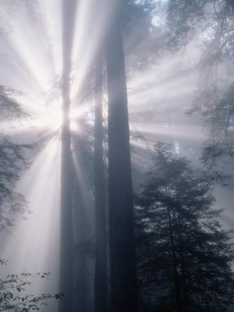 Sunrays Shining Through Redwood Trees by Inga Spence