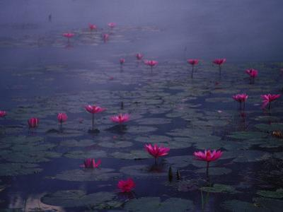 Water Lilies in Pond, Thailand by Inga Spence