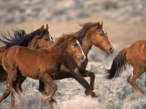 Wild Horses Running Through Desert, CA by Inga Spence