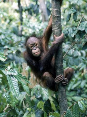 Young Orangutan Climbing a Tree by Inga Spence