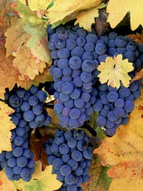 Zinfandel Grapes on Vine with Gold Fall Foliage, CA by Inga Spence