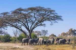 Botswana. Breeding Herd of Elephants Gathering under an Acacia Tree by Inger Hogstrom