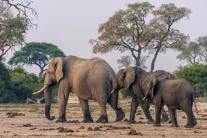 Botswana. Breeding Herd of Elephants Walking Closely Together to Protect Infants by Inger Hogstrom