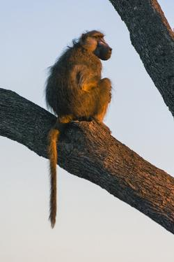 Botswana. Chacma Baboon at Sunrise Watching for Predators While the Troop Eats by Inger Hogstrom