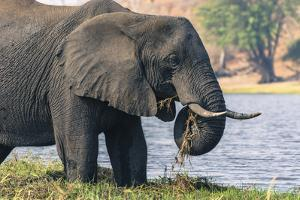 Botswana. Chobe National Park. Elephant Grazing on an Island in the Chobe River by Inger Hogstrom