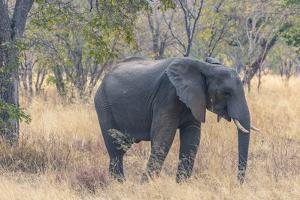 Botswana. Chobe National Park. Elephant in Dry Grass by Inger Hogstrom