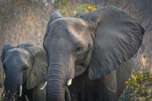 Botswana. Chobe National Park. Elephant. Mother and Calf by Inger Hogstrom