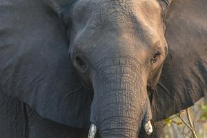 Botswana. Chobe National Park. Elephant by Inger Hogstrom