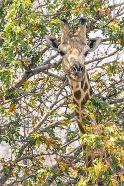 Botswana. Chobe National Park. Giraffe Camouflaged in Dry Branches by Inger Hogstrom