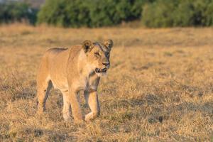 Botswana. Chobe National Park. Savuti. Female Lion on the Prowl by Inger Hogstrom