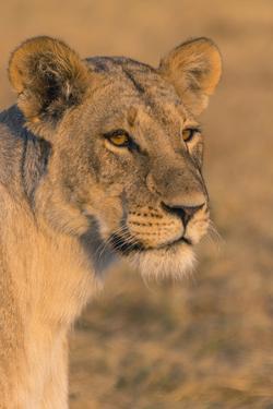 Botswana. Chobe National Park. Savuti. Female Lion by Inger Hogstrom