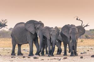 Botswana. Chobe National Park. Savuti. Harvey's Pan. Elephants Drinking at a Water Hole at Sunset by Inger Hogstrom