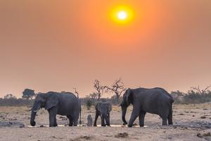 Botswana. Chobe National Park. Savuti. Harvey's Pan. Elephants Drinking at a Water Hole at Sunset by Inger Hogstrom