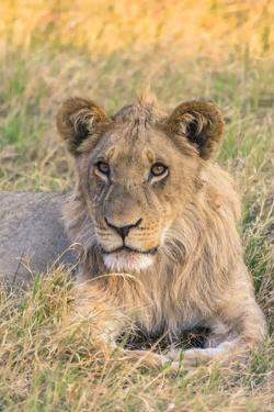 Botswana. Chobe National Park. Savuti. Juvenile Male Lion by Inger Hogstrom