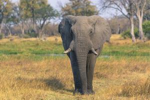 Botswana. Okavango Delta. Khwai Concession. Elephant Grazing Near the Khwai River by Inger Hogstrom