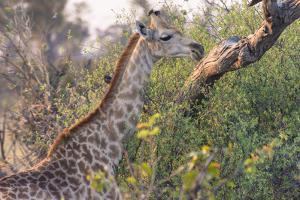Botswana. Okavango Delta. Khwai Concession. Giraffe by Inger Hogstrom