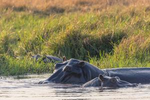 Botswana. Okavango Delta. Khwai Concession. Hippo Mother and Baby in the Khwai River by Inger Hogstrom