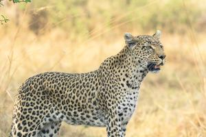 Botswana. Okavango Delta. Khwai Concession. Leopard Looks Out for Prey by Inger Hogstrom