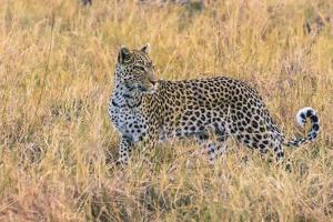 Botswana. Okavango Delta. Khwai Concession. Leopard Starts to Hunt by Inger Hogstrom