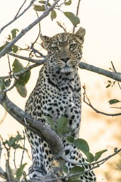 Botswana. Okavango Delta. Khwai Concession. Leopard Up in a Tree at Sunset by Inger Hogstrom