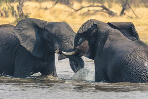 Botswana. Okavango Delta. Khwai Concession. Two Young Male Elephants Playing in the Water by Inger Hogstrom