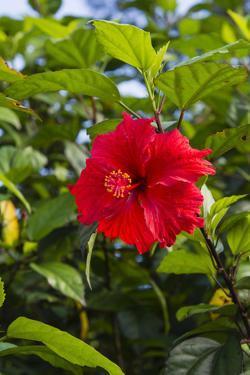 Cuba, Artemisa, Las Terrazas, Hibiscus Flower by Inger Hogstrom