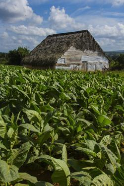 Cuba. Pinar Del Rio. Vinales. Barn Surrounded by Tobacco Fields by Inger Hogstrom