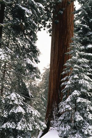 Giant Forest, Giant Sequoia Trees in Snow, Sequoia National Park, California, USA
