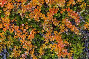 Greenland. Eqip Sermia. Dwarf birch in fall color. by Inger Hogstrom