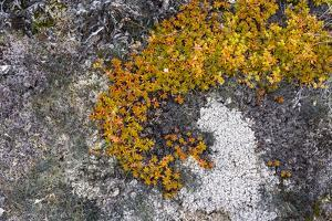 Greenland. Eqip Sermia. Irish saxifrage and thick lichen by Inger Hogstrom