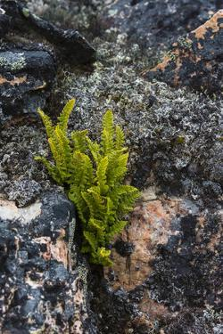 Greenland. Eqip Sermia. Rusty Woodsia growing through a crack in the rock. by Inger Hogstrom