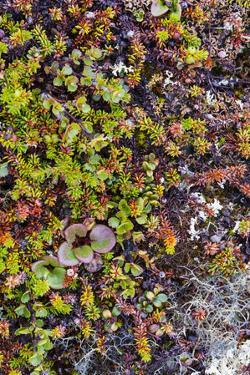 Greenland. Qeqertaq. Dwarf birch, lichen, and large flowered wintergreen. by Inger Hogstrom