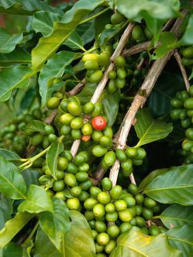 Greenwell Kona Coffee Farm, Big Island, Hawaii, USA by Inger Hogstrom