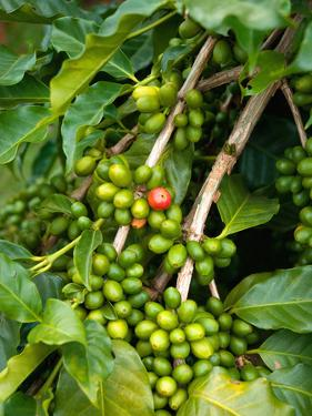 Greenwell Kona Coffee Farm, Big Island, Hawaii, USA by Inger Hogstrom