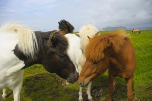 Iceland. Dyrholaey. Icelandic Horses on a Farm by Inger Hogstrom