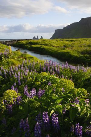 Iceland. Vik I Myrdal. Stream Running Through Field of Wildflowers